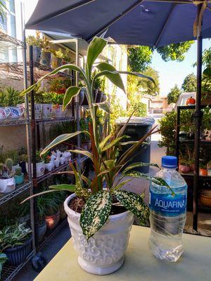INDOOR PLANTS for Sale in Paramount, CA