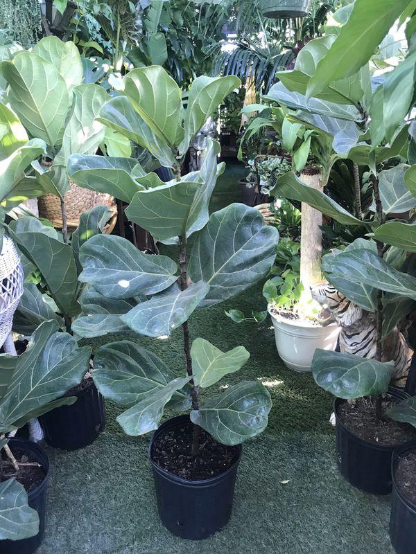 Plants (3ft tall x 3gallons pot, fiddle leaf $15)