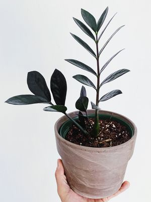 """ZZ Raven in 5"""" pot- cool exotic tropical live decor houseplant for Sale in Hollywood, FL"""