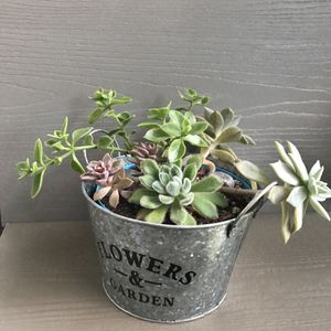 """🌺 Succulents plants in a double pot 7""""x4""""H. for Sale in Everett, WA"""