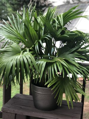 Palm with pot for Sale in Glen Burnie, MD
