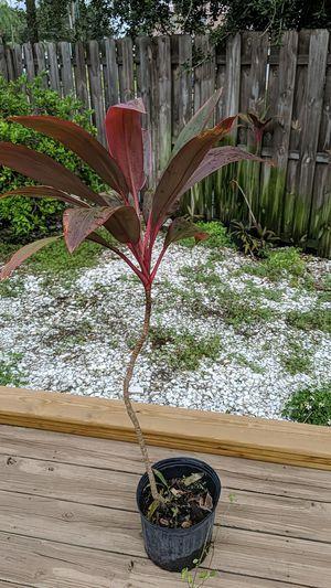 Ti plants - 8$ per stem for Sale in St. Petersburg, FL