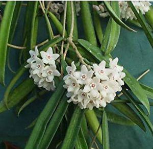 """Hoya Shepherdii several plants in one 6"""" pot for Sale in Miami, FL"""