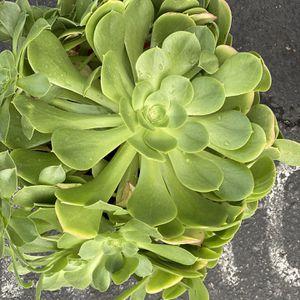 Succulent Plants for Sale in Carson, CA