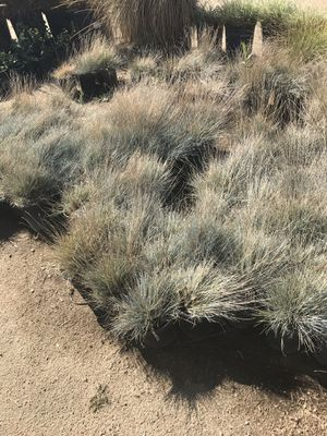 I'm selling succulents plants in different colors and. Fountain grass and more for Sale in Rialto, CA