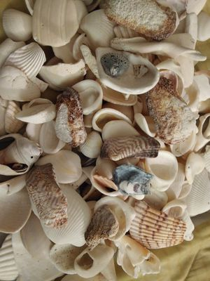 Sea shells for Sale in Louisville, KY
