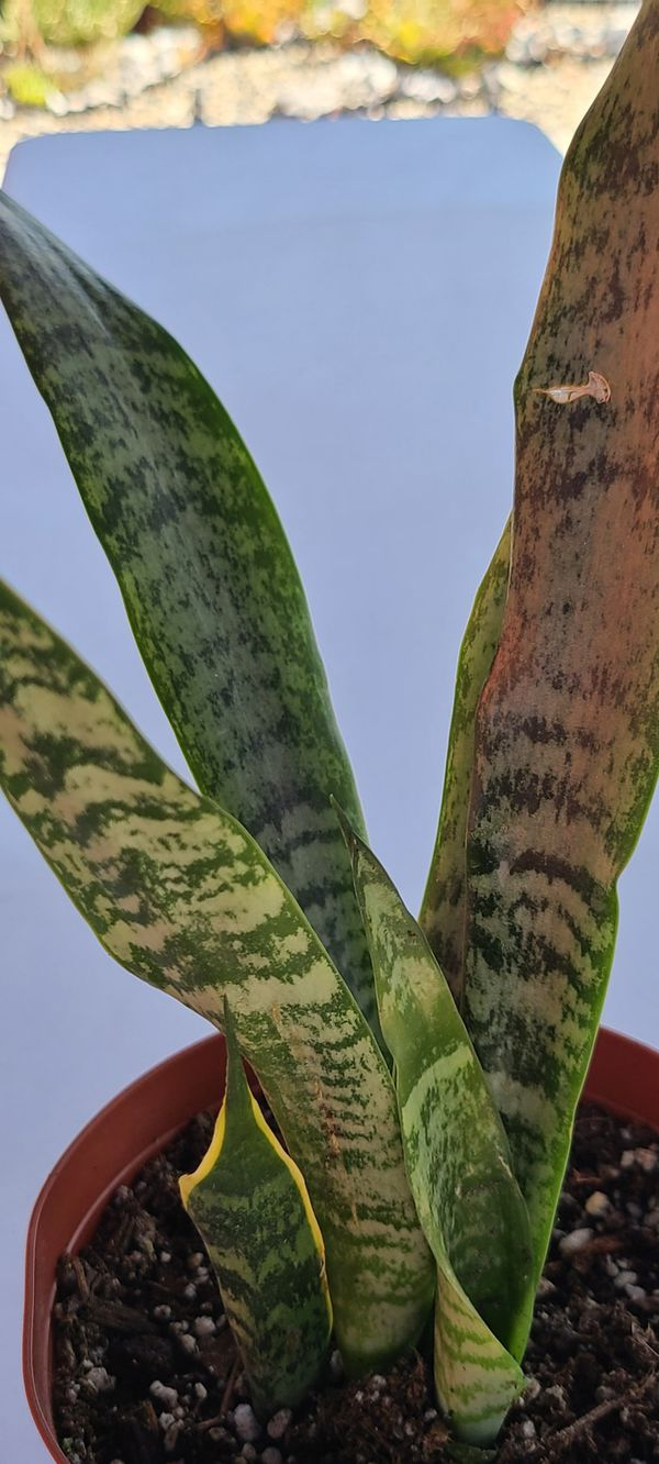 Snake plant outdoor & indoor plant