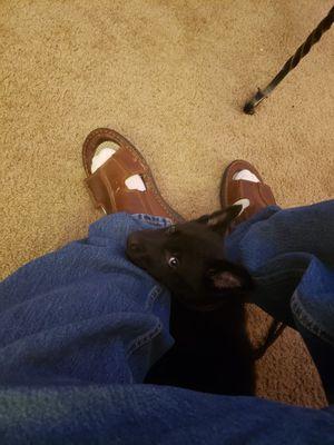 Black German Shepherd puppy for Sale for Sale in Nashville, TN