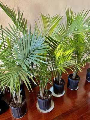 🌴MAJESTY PALM ..Indoor plant . Tall and Healthy..in 2 gallon pot Adds beauty to your living room for Sale in Arlington, TX