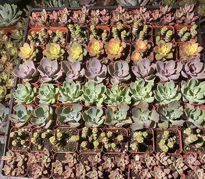 """2"""" succulents sale 8/8 25791 Pelion rd Menifee for Sale in Menifee, CA"""