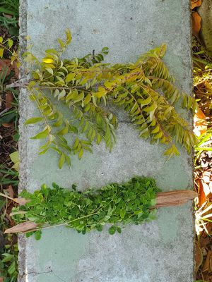 Free moringa or curry leaves with purchase of $10 or more for Sale in FL, US