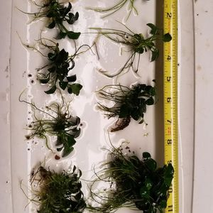 Aquarium Plants: Anubias Nana Petite for Sale in Seattle, WA