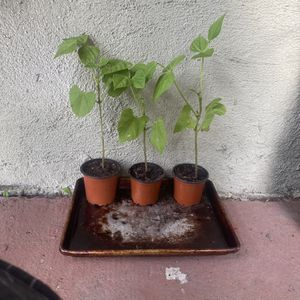 3 x organic Bean Sprouts Flowering And About To Start Producing First Beans for Sale in Los Angeles, CA