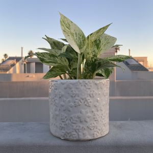Holiday Pot + Pothos Plant for Sale in Santa Monica, CA
