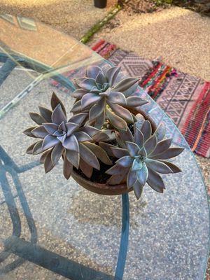 Escheveria 3 pieces with rosettes for Sale in Arlington, TX