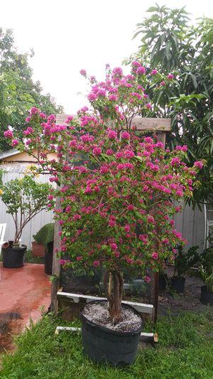 Bouganvillea. Tree. Chinese for Sale in Miami, FL