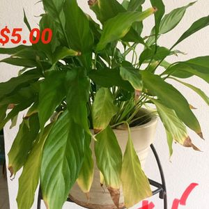 Indoor Plants for sale for Sale in Frisco, TX
