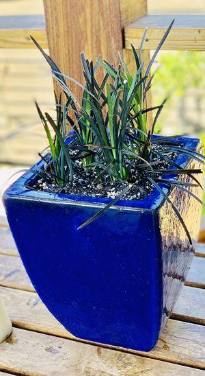 Live outdoor Black Mondo grass in a ceramic planter flower pot—firm price for Sale in Seattle, WA