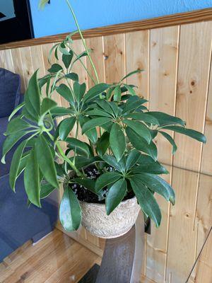 "Beautiful Umbrella Tree Plant ""Schefflera"" for Sale in Denver, CO"