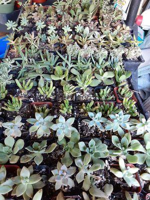 """2"""" pot, Succulents plant pots for Sale in Anaheim, CA"""