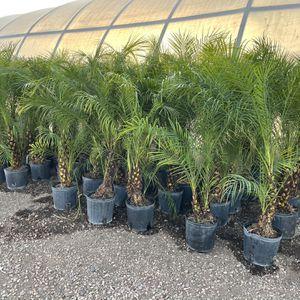 Phoenix Roubellini Pygmy Palm Indoor And Outdoor Decorative Palm Tree Landscape for Sale in Phoenix, AZ