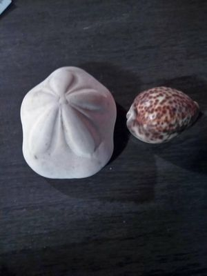 (2) big seashells for Sale in Port Neches, TX