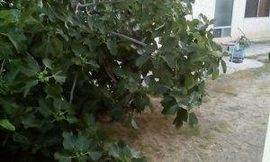 Figs for free ######## for Sale in Spring Valley, CA