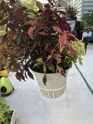 Big beautiful, colorful plant in easy water container and on plant stand for Sale in Chesapeake, VA