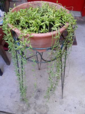 Succulent plant in pot for Sale in Houston, TX