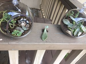 succulents for Sale in Leander, TX