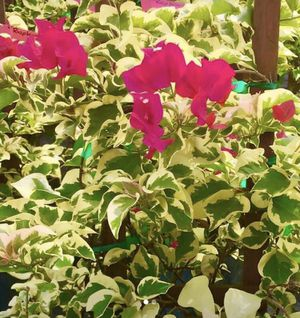 BOUGAINVILLEA PLANT w/POT for Sale in BVL, FL