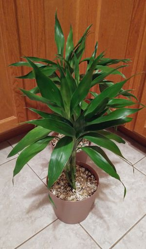 Lucky bamboo house plants$36 each pot. Check last pick please. Porch pick up only. for Sale in St. Louis, MO