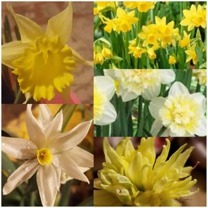 100 Bulbs Per Order Assorted Daffodil Bulbs For Naturalizing for Sale in Mendenhall, MS