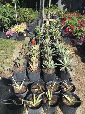 Differents cactus or Agaves for Sale in Miami, FL