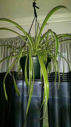 Spider plant for Sale in Nashua, NH