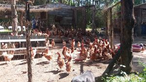 Laying Hens for Sale in Quitman, TX