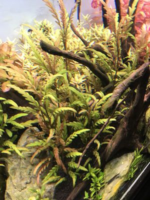 Fresh water plants HYGROPHILA PINNATIFIDA 6pcs for Sale in New York, NY