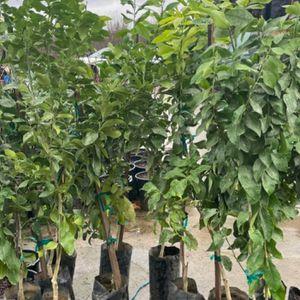 Árboles de limones amarillos 🍋 $30 cada uno/ Yellow Lemon trees 🍋$30 each for Sale in Fresno, CA