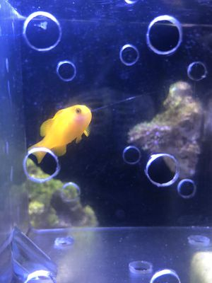 Yellow clown goby saltwater aquarium for Sale in Milpitas, CA