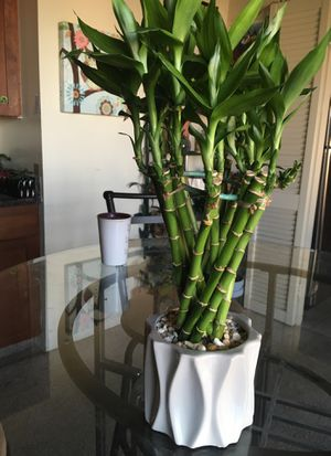 Dinning Room - Lucky 🍀 Bamboo House Plant for Sale in Denver, CO