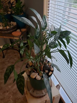 Large plant for Sale in Colorado Springs, CO