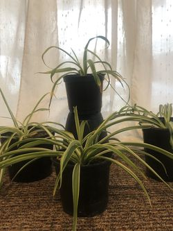 Medium Spider Plants for Sale in San Diego,  CA