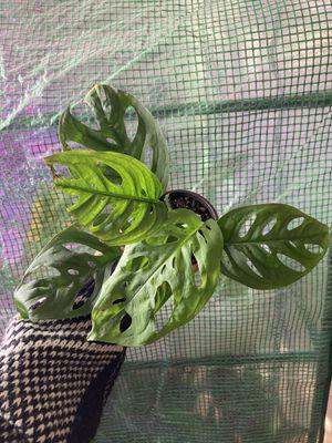 Indoor plants ( monstera Adansonii) for Sale in AZ, US