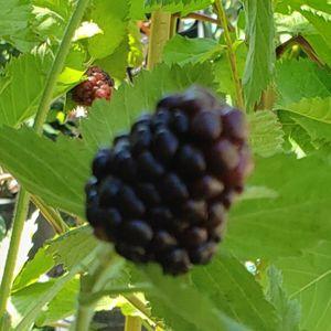 Blackberry Tree for Sale in Arcadia, CA