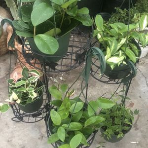 "Assorted Hoyas in 6"" pots indoor house plant for Sale in Santa Ana, CA"