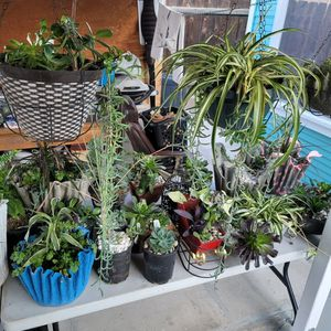 Located In TAFT succulents/plants for Sale in Bakersfield, CA