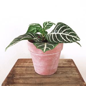 Live Zebra Plant in white-washed terra cotta pot for Sale in Phoenix, AZ