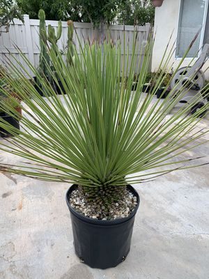 Agave Falcata for Sale in Spring Valley, CA