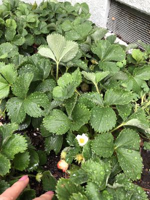 FREE raspberry plants for Sale in Long Beach, CA