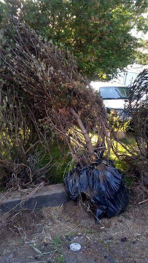 Dwarf Mugo Pine trees for Sale in Spanaway, WA
